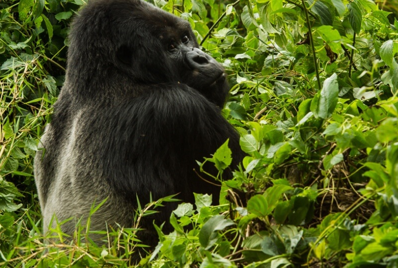 Rwanda - In the realm of the mythical Mountain Gorilla