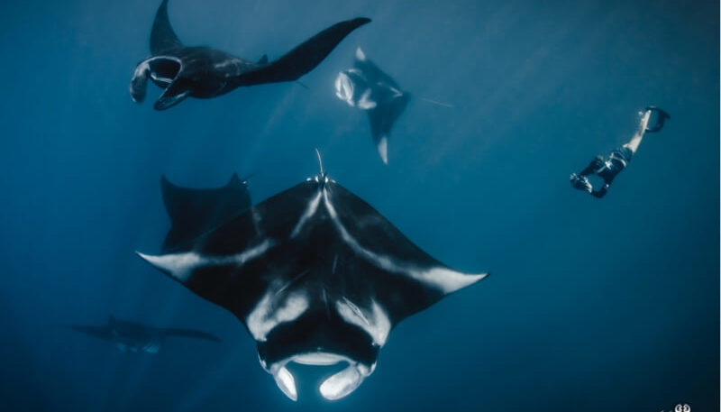 Encounter with the giant oceanic manta rays