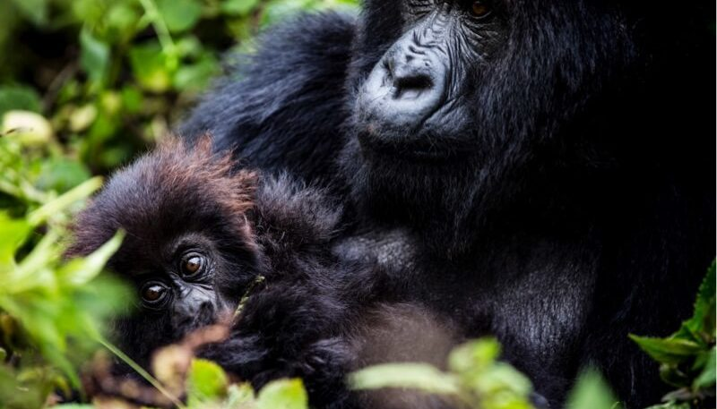 First encounter with gorillas