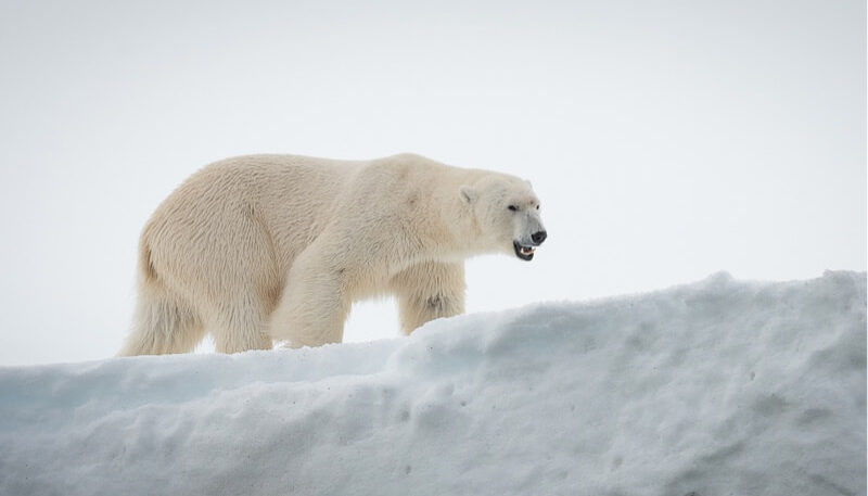 In search of the polar bear